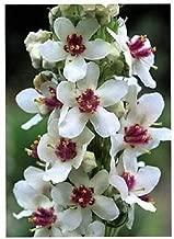 Toyensnow - Wedding Candles VERBASCUM Chaixii Album Mullein White Purple Flower (50 Seeds)