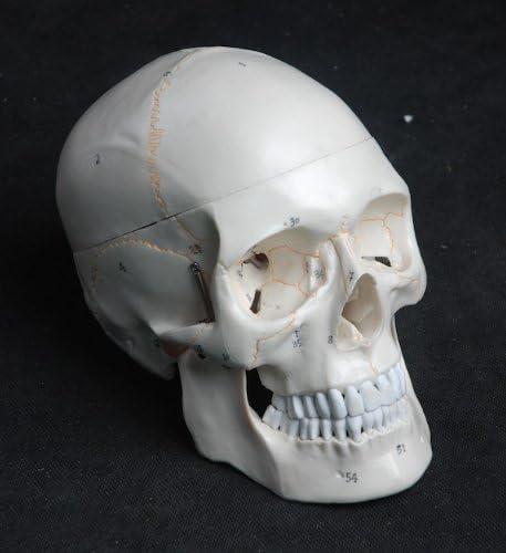 Cranstein A-211 Crâne anatomique modèle, 3 pièces, numérotation