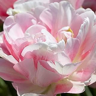 10 Finola Double Late (Peony) Tulip Bulbs -Pink & White Perennial Spring Flowers