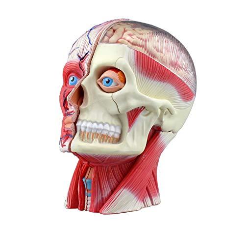 立体パズル 4D VISION 人体解剖 No.11 頭部断面解剖モデル