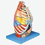 ZHTY Modello anatomico toracico Umano-Osteocondrale Muscolo e tendini Visceri Albero laringebronchiale Segmento polmonare Cuore Nervo vascolare