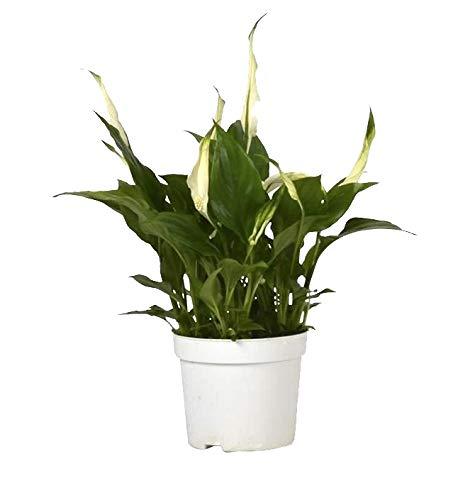 Einblatt, (Spathiphyllum), pflegeleichte Zimmerpflanze, verbessert das Raumklima und Luftqualität, (ca. 40cm hoch im 13cm Topf)