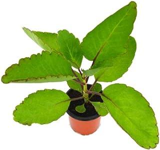 Kalanchoe Pinnata 10cm Planta Natural en Maceta Pequeña Uso