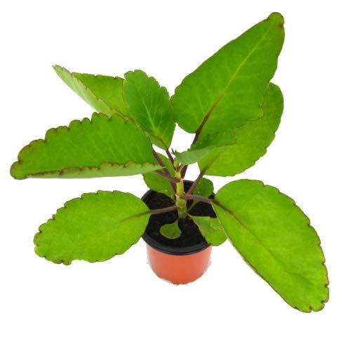 Kalanchoe Pinnata 10cm Planta Natural en Maceta Pequeña Uso Medicinal