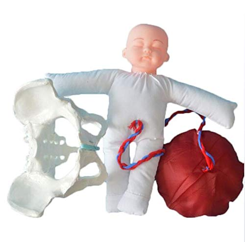 Female Basin Model, Life Size Pelvis Anatomical Model Fetus Model of Human Use Environmentally Friendly Materials