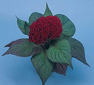 Celosia Amigo Series Mahogany Red Annual Seeds