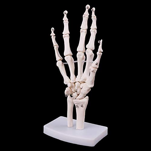 JAP768 1 PZ Medical Puntelli Modello Gratuito BASSATORE A Mano Armato Scheletro Anatomico Scheletro Modello Umano Anatomia Anatomia Studio Strumento di Studio Dimensioni della Vita