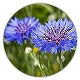 50 Semillas (Aprox.) de Aciano (Centaurea cyanus)