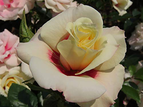 Rising Sun - 5.5lt Potted Floribunda/Cluster Flowering Garden Rose Bush - Exclusive Introduction! Unusual White and deep Pink/red Centred Flowers, Excellent Healthy Growth and Repeat Flowers.