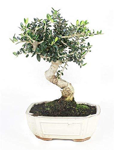 Bonsái Olea Europaea Sylvestris de 7 Años Bonsái Olivo Silvestre Árbol Natural