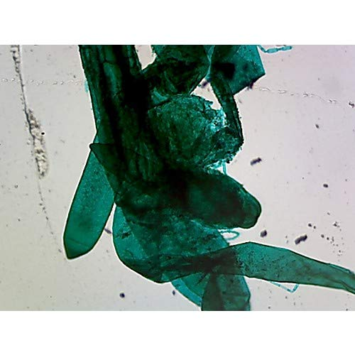 GSC S06353, Chlorophyta Green Algae Chara Prepared Microscope Slide, Whole Mount, Pack of 10