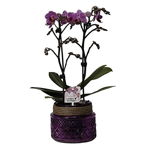 Phalaenopsis | Schmetterlingsorchidee inkl Ziertopf | Lila Blüte | Höhe 30-40cm | Topf-Ø 9cm