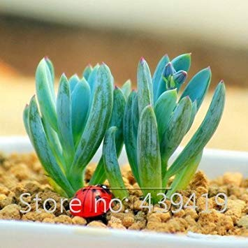 Potseed 5 Stück Japanischen Zimt Samen Zwergbäume Samen Indoor-Topf Container Gartenpflanze