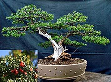 Semillas Shopvise Taxus Cuspidata * * tejo japonés Japones Tejo * Evergreen Bonsái frescas