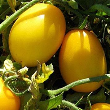 Potseed Tomate - Red Zebra verbessert - Red Lightning - 10 Samen