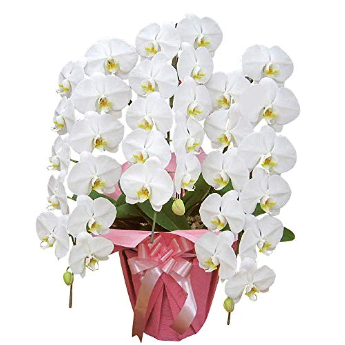 泥沼口頭非難還暦祝い 胡蝶蘭を贈るならこれ