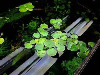 20 Plant Frogbit Limnobium Laevigatum Live Aquarium/Aquatic/Floating Plant
