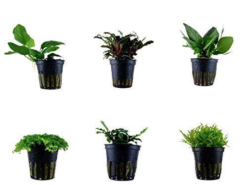 Tropica Vordergrund Set mit 6 Topf Pflanzen Aquariumpflanzenset Nr.31 Wasserpflanzen Aquarium Aquariumpflanzen