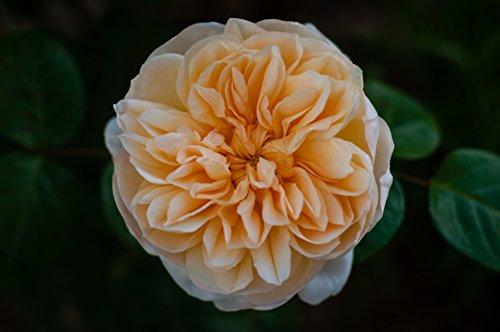 Englische/Historische Rose in div. Farbnuancen Farbe Lachsfarben