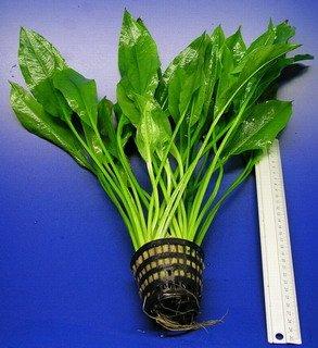 WFW wasserflora MUTTERPFLANZE Schmalblättrige Amazonas Schwertpflanze/Echinodorus amazonicus