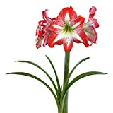 Amaryllis Bulb Red Amaryllis Minerva - 30/32 cm Bulb - Outstanding Indoor Blooms |Ships from Easy to Grow TM