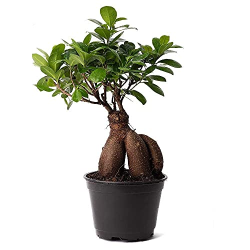 ficus Ginseng microcarpa Easy Care 4 Year Old Bonsai Tree Live Plant, 6' Pot, Indoor air Purifying Beauty 618416