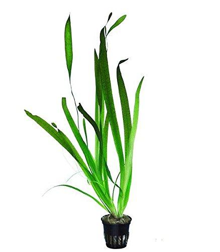 Riesenvallisnerie - Vallisneria gigantea - Wasserpflanzen für Aquarien
