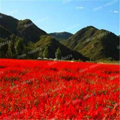 Generic Fresh 101 Stück Provence Lavendel Blumensamen zum Pflanzen von Rot