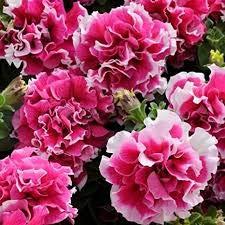 Generic Fresh 100 Stück Petunia Blumensamen zum Pflanzen von Pink
