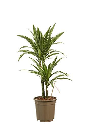 Planta de interior de Botanicly – Árbol dragón – Altura: 60 cm, 2 brotes – Dracaena derem. Warneckei