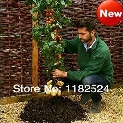 Zeitlich begrenzte Echt Regular Plant Mini Sementes De Flores Neu !!! Großbritannien importiert Tomtato Obst Gemüse - 100st