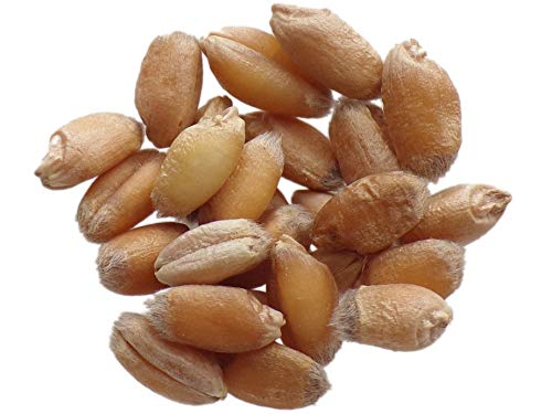 Blé d'Automne Rouge Barbu - 40 grammes - Triticum Aestivum - Wheat - (Engrais Vert - Green Manure) - SEM01