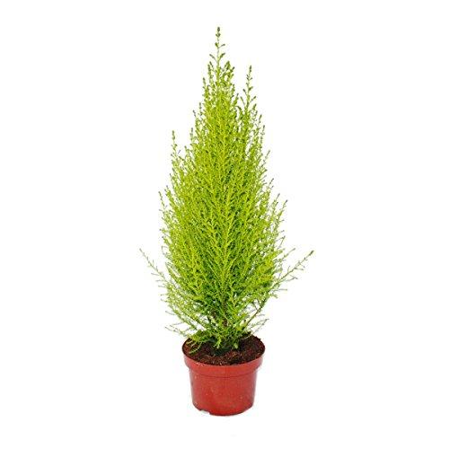Zimmerzypresse - Cupressus macrocarpa