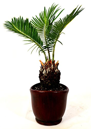 Sago Palm - 4.5' Ceramic Pot - unique from jmbamboo