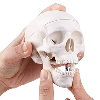 Mini Skull Model - Small Size Human Anatomical Anatomy Medical Teaching Skeleton Head Studying - Easy to Carry