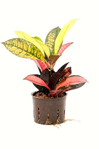 Kroton, Croton variegatum Petra, Zimmerpflanze in Hydrokultur, 13/12er Kulturtopf, 30-40 cm