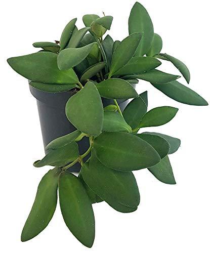 Fangblatt - Hoya tsangii - Porzellanblume/Wachsblume - roten, runden Blüten - hängende Zimmerpflanze - pflegeleichte Pflanze für die Wohnung