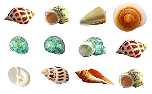 Hermit Crab Shells Seashell Natural Turbo Shells Medium Large Sea Conch 1-3.5 Inch 15+ pcs