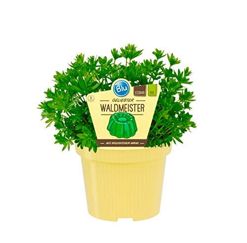 Bio Waldmeister (Galium odoratum), Kräuter Pflanzen aus nachhaltigem Anbau, (1 Pflanze)