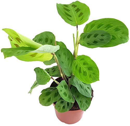 Fangblatt - Maranta kerchoveana - grüner Pfeilwurz - Blattschmuckpflanze im Ø 12 cm Topf - Korbmarante - Grünpflanze