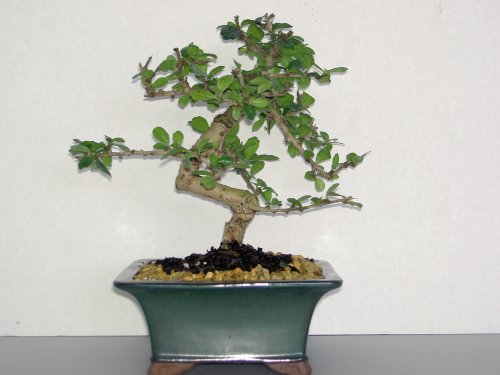 Lou's Bonsai Nursery Fukien Tea White Flowers Bonsai Tree