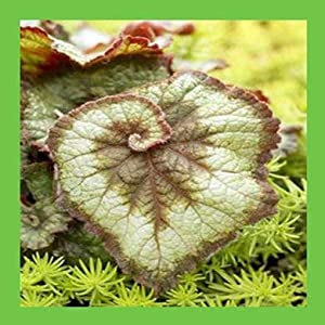 100 pcs Begonia Seeds, Potted Flower Seeds,Begonia Plants for Mini Garden,Variety Complete,The Budding Rate 9100%, (Mixed Colors) 8