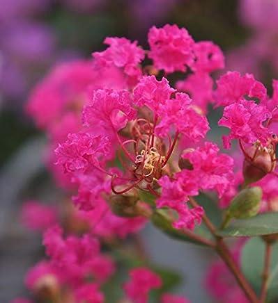 Lagerstroemia indica Chinesische Kräuselmyrte Rhapsody in Pink 60-80cm