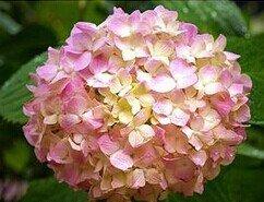 10 PCS Colorful graines bonsaï hortensias hauts, simple balcon bricolage plantation, belle plante des fleurs