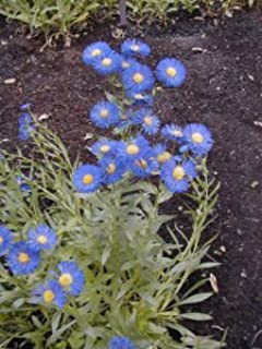 erigeron speciosus seeds