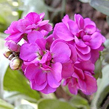 Fash Lady Prune: Mixte Couleur Violet (Rouge Vert Pourpre) Plantes De Jardin Semences Matthiola Fleurs D'incana Semences De Plantes Annuelles 100 Particules/lot