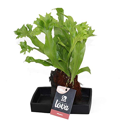 """Punctatum Arrangement\""""LOVA\"""", Pflanzen im wasserspeichernden Lavastein"""