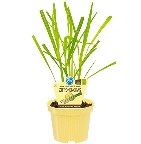 Bio Zitronengras (Cymbopogon citratus), Kräuter Pflanzen aus nachhaltigem Anbau, (1 Pflanze)