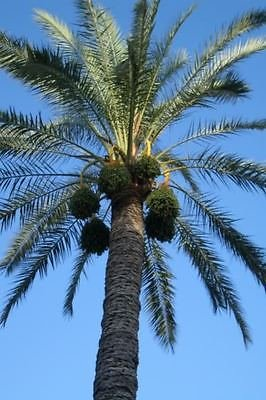 10 Insel-Dattelpalme Phoenix canariensis reclinata Baumsamen