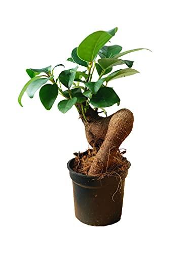 SEEBAUER garden® Ficus 'Ginseng' Bonsai | Zimmerpflanze Mini Bonsai | Dekorative Pflanze für den Innenbereich | Gesamthöhe ca. 15 - 20 cm, Durchmesser Topf ca. 6 cm